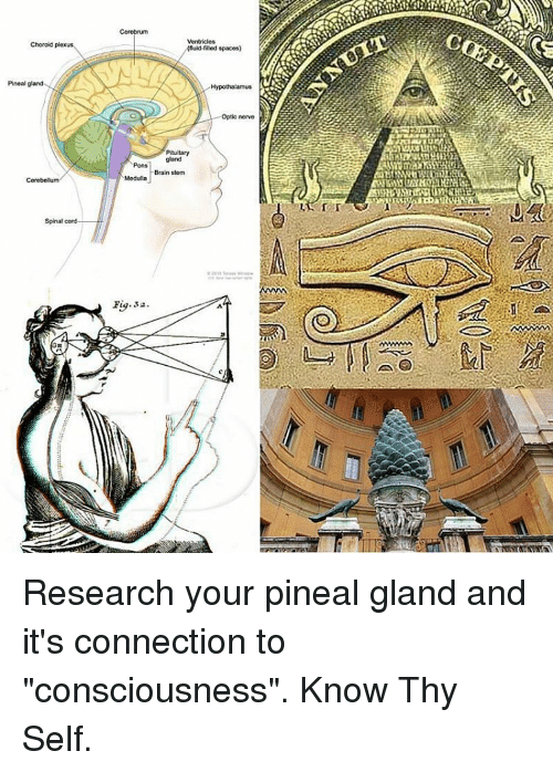 Choroid Plexus Pineal Gland Spinal Cord Knuid Filled Spaces