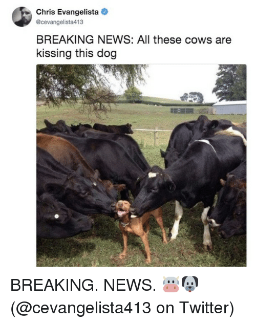 Memes, News, and Twitter: Chris Evangelista  ecevangelista413  BREAKING NEWS: All these cows are  kissing this dog BREAKING. NEWS. 🐮🐶 (@cevangelista413 on Twitter)