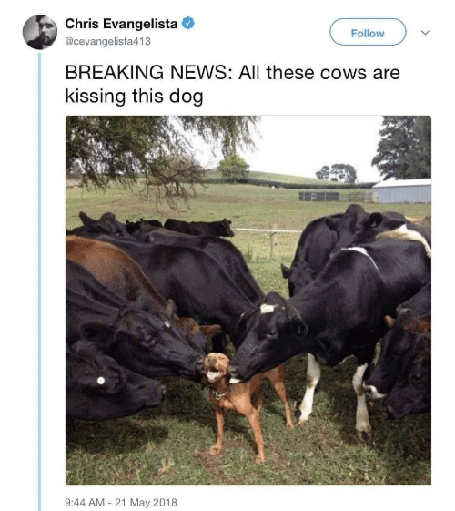 Chris Evangelista Follow BREAKING NEWS All These Cows Are Kissing