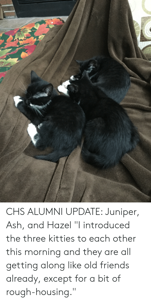 "Ash, Friends, and Kitties: CHS ALUMNI UPDATE: Juniper, Ash, and Hazel  ""I introduced the three kitties to each other this morning and they are all getting along like old friends already, except for a bit of rough-housing."""