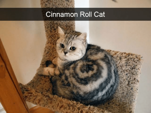 Memes, 🤖, and Cat: Cinnamon Roll Cat