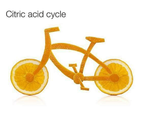 Acid, Citric Acid, and Cycle: Citric acid cycle