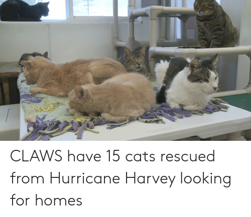 Cats, Hurricane, and Looking: CLAWS have 15 cats rescued from Hurricane Harvey looking for homes