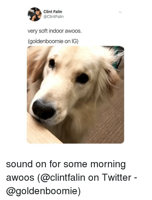 Memes, Twitter, and 🤖: Clint Falin  @ClintFalin  very soft indoor awoos.  (goldenboomie on IG) sound on for some morning awoos (@clintfalin on Twitter - @goldenboomie)