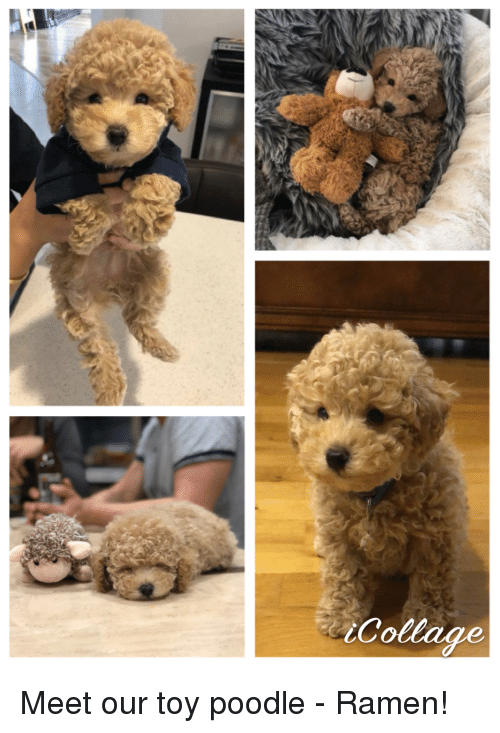 Ramen, Collage, and Toy Poodle: Collage