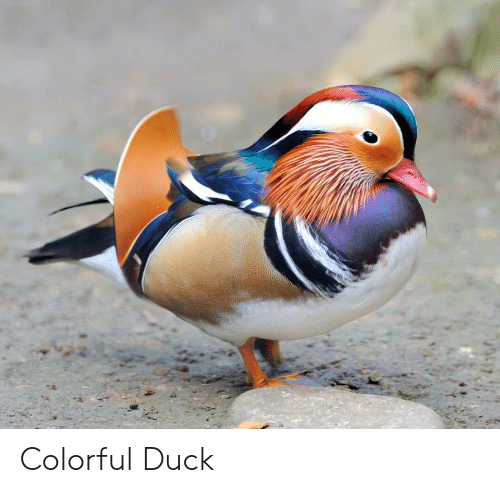 Duck and Colorful: Colorful Duck