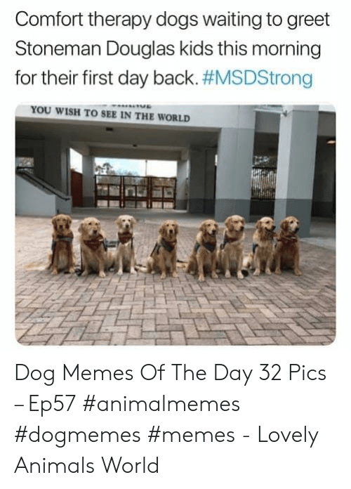 Animals, Dogs, and Memes: Comfort therapy dogs waiting to greet  Stoneman Douglas kids this morning  for their first day back. #MSDStrong  YOU WISH TO SEE IN THE WORLD Dog Memes Of The Day 32 Pics – Ep57 #animalmemes #dogmemes #memes - Lovely Animals World