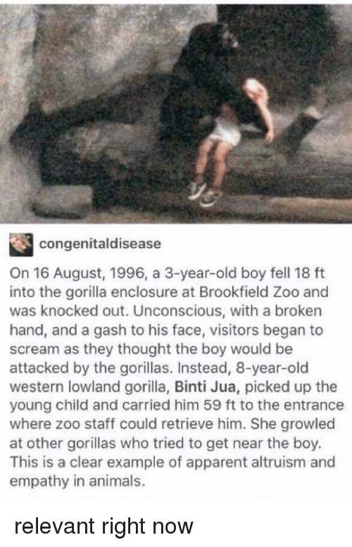 Animals, Anime, and Apparently: congenital disease  On 16 August, 1996, a 3-year-old boy fell 18 ft  into the gorilla enclosure at Brookfield Zoo and  was knocked out. Unconscious, with a broken  hand, and a gash to his face, visitors began to  scream as they thought the boy would be  attacked by the gorillas. Instead, 8-year-old  western lowland gorilla, Binti Jua, picked up the  young child and carried him 59 ft to the entrance  where zoo staff could retrieve him. She growled  at other gorillas who tried to get near the boy.  This is a clear example of apparent altruism and  empathy in animals. relevant right now