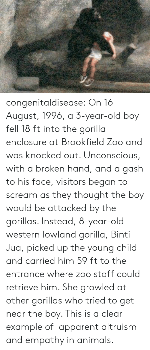 Animals, Scream, and Tumblr: congenitaldisease: On 16 August, 1996, a 3-year-old boy fell 18 ft into the gorilla enclosure at Brookfield Zoo and was knocked out. Unconscious, with a broken hand, and a gash to his face, visitors began to scream as they thought the boy would be attacked by the gorillas. Instead, 8-year-old western lowland gorilla, Binti Jua, picked up the young child and carried him 59 ft to the entrance where zoo staff could retrieve him. She growled at other gorillas who tried to get near the boy. This is a clear example of  apparent altruism and empathy in animals.