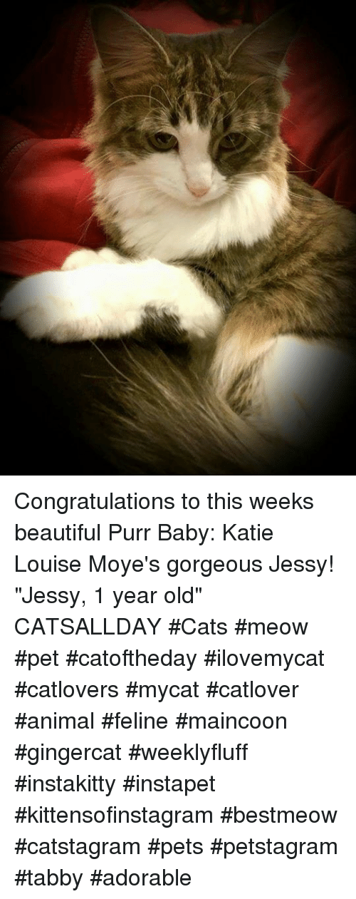 "Memes, 🤖, and Feline: Congratulations to this weeks beautiful Purr Baby:  Katie Louise Moye's gorgeous Jessy!  ""Jessy, 1 year old""  CATSALLDAY #Cats #meow #pet #catoftheday #ilovemycat #catlovers #mycat #catlover #animal #feline #maincoon #gingercat #weeklyfluff #instakitty #instapet #kittensofinstagram #bestmeow #catstagram #pets #petstagram #tabby #adorable"