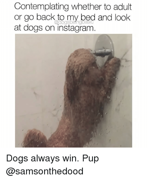 Dogs, Instagram, and Memes: Contemplating whether to adult  or go back to my bed and look  at dogs on instagram  @dogsbeingbasiC Dogs always win. Pup @samsonthedood