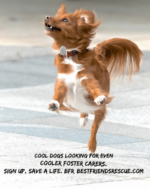 cool dogs looking for even cooler foster carers sign up 32141482 cool dogs looking for even cooler foster carers sign up save a life