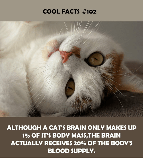 Cats, Facts, and Brain: COOL FACTS #102  ALTHOUGH A CAT'S BRAIN ONLY MAKES UP  1% OF IT'S BODY MASS,THE BRAIN  ACTUALLY RECEIVES 20% OF THE BODY'S  BLOOD SUPPLY.