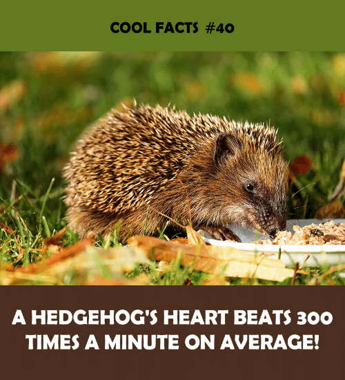 Facts, Beats, and Cool: COOL FACTS #40  A HEDGEHOG'S HEART BEATS 300  TIMES A MINUTE ON AVERAGE!