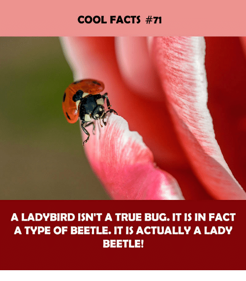 Facts, True, and Cool: COOL FACTS #71  A LADYBIRD ISN'T A TRUE BUG. IT IS IN FACT  A TYPE OF BEETLE. IT IS ACTUALLY A LADY  BEETLE!