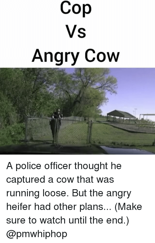Cop vs Angry Cow a Police Officer Thought He Captured a Cow That Was