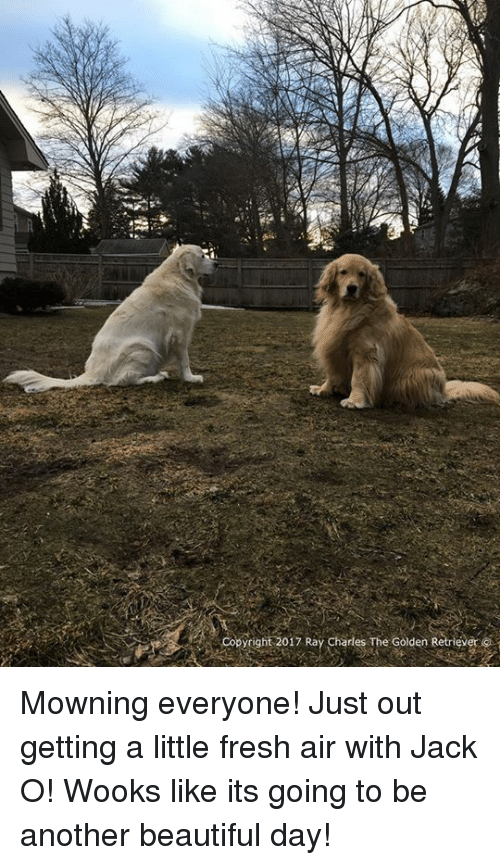 Fresh, Memes, and Golden Retriever: Copyright 2017 Ray Charles The Golden Retriev Mowning everyone! Just out getting a little fresh air with Jack O! Wooks like its going to be another beautiful day!
