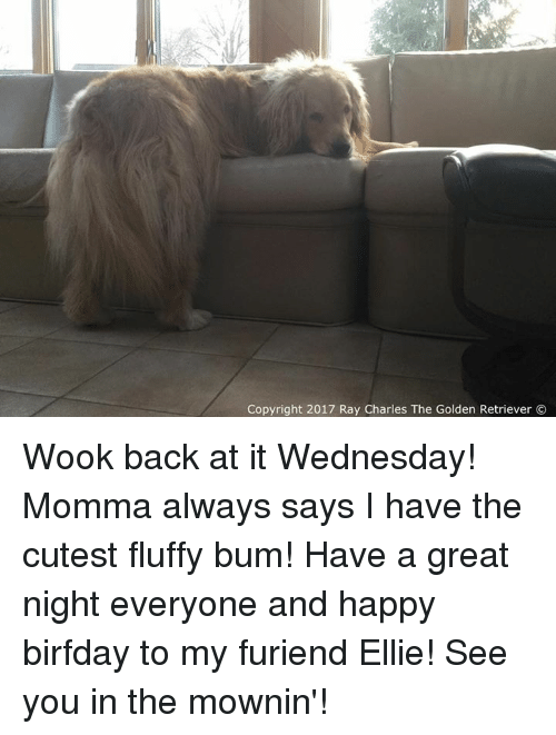 Memes, Golden Retriever, and Ray Charles: Copyright 2017 Ray Charles The Golden Retriever Wook back at it Wednesday! Momma always says I have the cutest fluffy bum! Have a great night everyone and happy birfday to my furiend Ellie! See you in the mownin'!