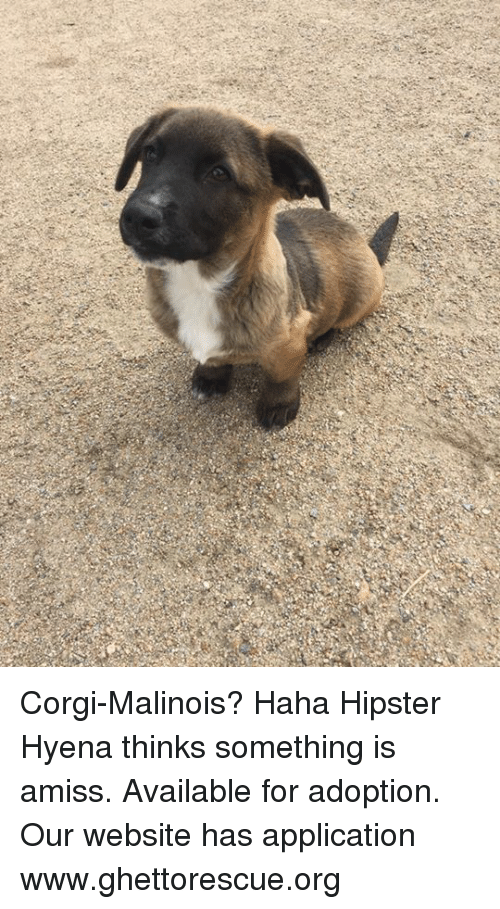 corgi malinois haha hipster hyena thinks something is amiss available for 14976955 ✅ 25 best memes about belgian malinois belgian malinois memes