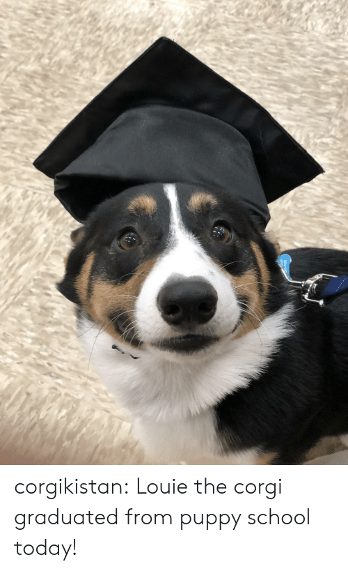 Corgi, School, and Tumblr: corgikistan:  Louie the corgi graduated from puppy school today!