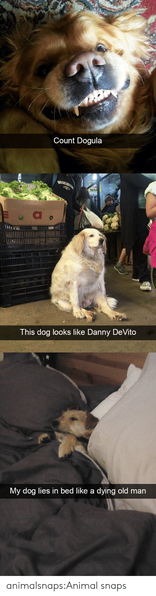 Old Man, Target, and Tumblr: Count Dogula   WASHINGTON  NUEU  This dog looks like Danny DeVito   My dog lies in bed like a dying old man animalsnaps:Animal snaps