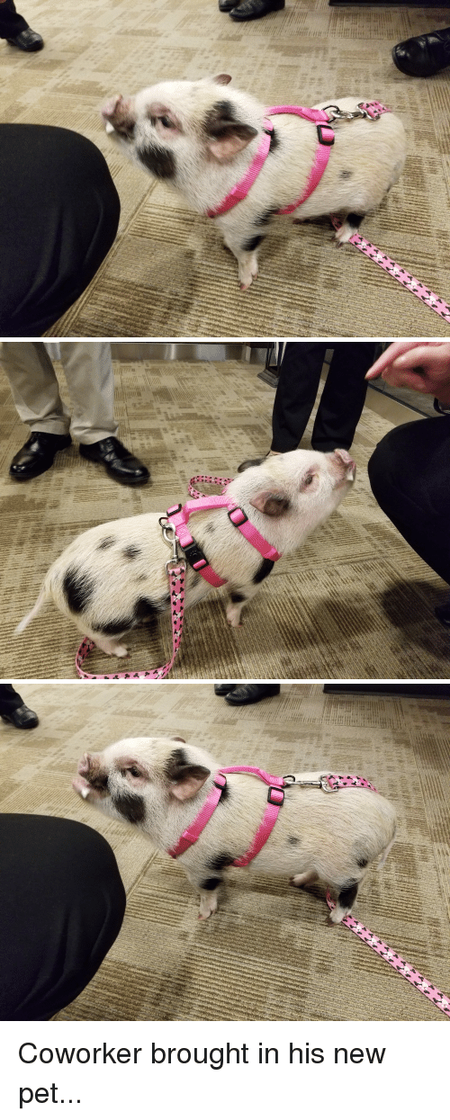 Bacon, Pet, and New: Coworker brought in his new pet...