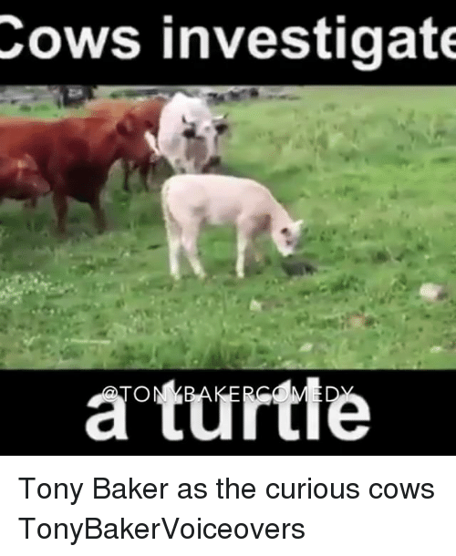 Memes, 🤖, and Cow: Cows investigate  a turtle Tony Baker as the curious cows TonyBakerVoiceovers