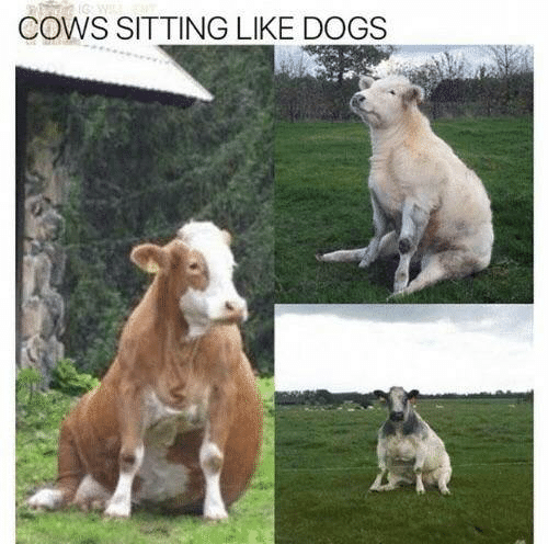 Dank, Dogs, and 🤖: COWS SITTING LIKE DOGS