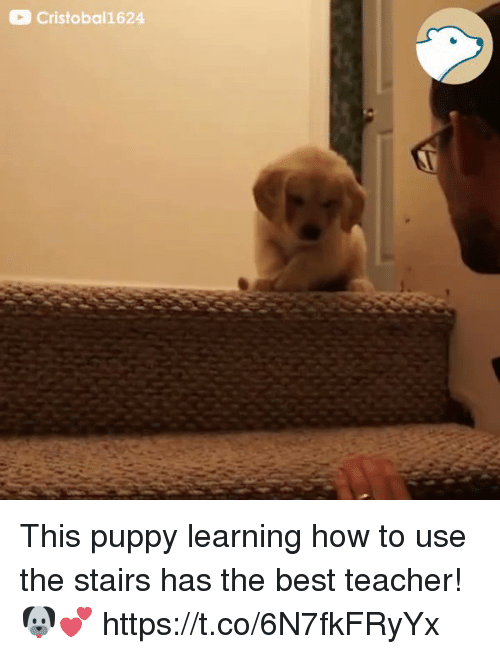 Teacher, Best, and How To: Cristobal1624 This puppy learning how to use the stairs has the best teacher! 🐶💕  https://t.co/6N7fkFRyYx