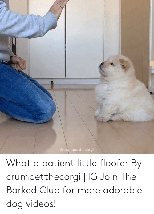 Club, Dank, and Videos: crumpetthecorgi What a patient little floofer By crumpetthecorgi   IG  Join The Barked Club for more adorable dog videos!