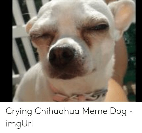 crying chihuahua meme 25 best memes about chihuahua meme chihuahua memes 429