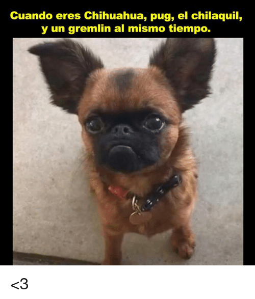 cuando eres chihuahua pug el chilaquil y un gremlin al 27461760 ✅ 25 best memes about chilaquil chilaquil memes