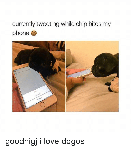 Love, Memes, and Phone: currently tweeting while chip bites my  phone goodnigj i love dogos