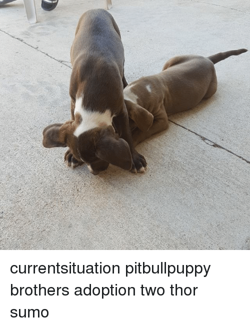 Currentsituation Pitbullpuppy Brothers Adoption Two Thor Sumo Meme