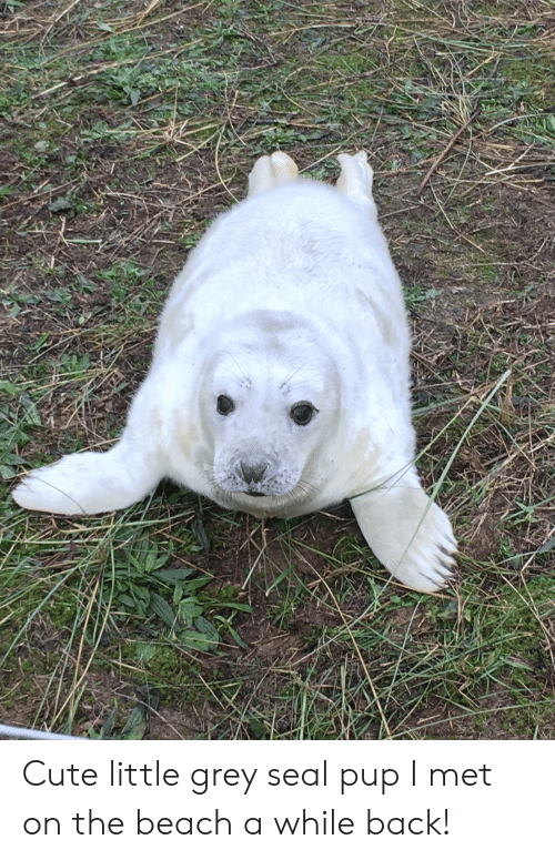 Cute, Beach, and Grey: Cute little grey seal pup I met on the beach a while back!