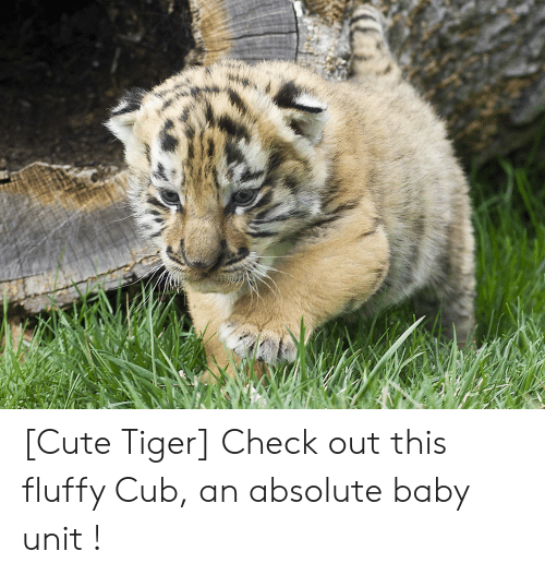 Cute Tiger Check Out This Fluffy Cub An Absolute Baby Unit Cute Meme On Me Me