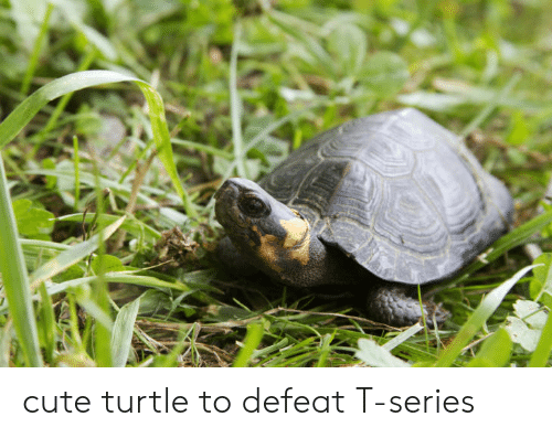 Cute, Turtle, and Series: cute turtle to defeat T-series