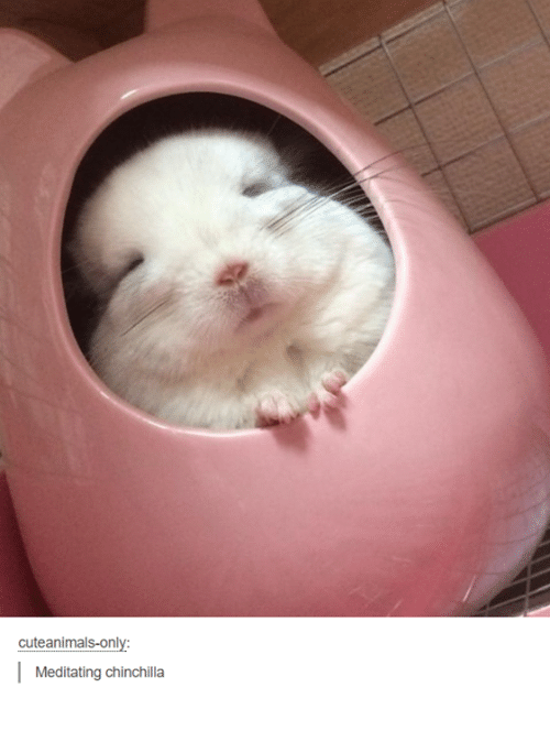 Dank, 🤖, and Chinchilla: cuteanimals-only  Meditating chinchilla