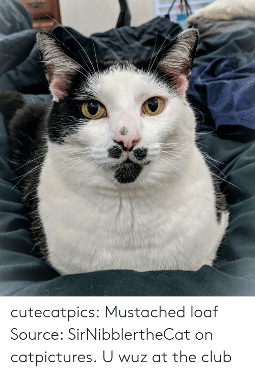 Club, Tumblr, and Blog: cutecatpics:  Mustached loaf Source: SirNibblertheCat on catpictures.  U wuz at the club