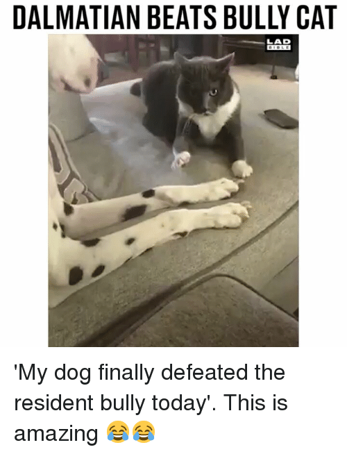 Memes, Beats, and Today: DALMATIAN BEATS BULLY CAT  LAD 'My dog finally defeated the resident bully today'. This is amazing 😂😂