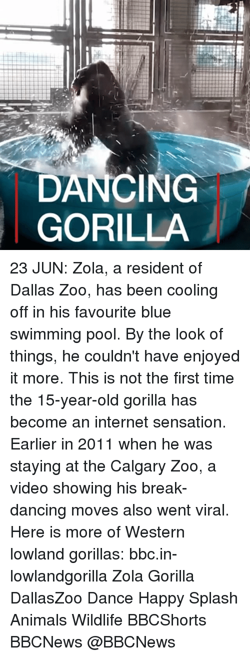 Animals, Dancing, and Internet: DANCING  GORILLA 23 JUN: Zola, a resident of Dallas Zoo, has been cooling off in his favourite blue swimming pool. By the look of things, he couldn't have enjoyed it more. This is not the first time the 15-year-old gorilla has become an internet sensation. Earlier in 2011 when he was staying at the Calgary Zoo, a video showing his break-dancing moves also went viral. Here is more of Western lowland gorillas: bbc.in-lowlandgorilla Zola Gorilla DallasZoo Dance Happy Splash Animals Wildlife BBCShorts BBCNews @BBCNews