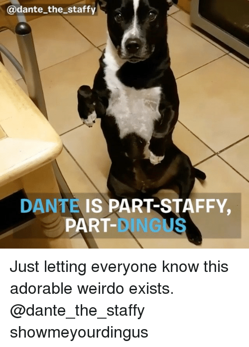 Memes, Adorable, and 🤖: @dante the staffy  DANTE  IS PART STAFFY,  PART Just letting everyone know this adorable weirdo exists. @dante_the_staffy showmeyourdingus