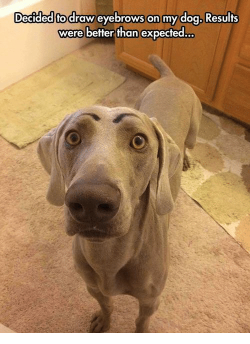Decided Fo Draw Eyebrows On My Dog Results Were Better Than Expected