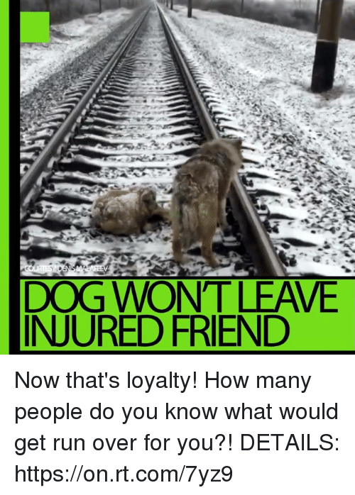 Memes, 🤖, and rt.com: DEN  DOG WONT LEAVE  INJURED FRIEND Now that's loyalty! How many people do you know what would get run over for you?! DETAILS: https://on.rt.com/7yz9