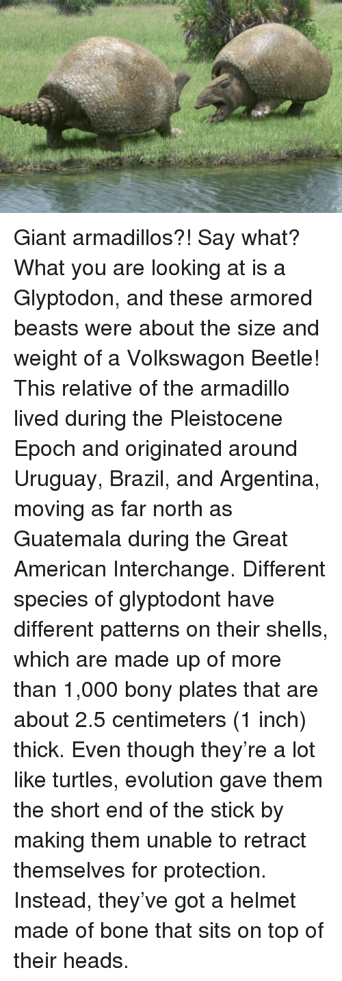 Memes, Argentina, and Brazil: Desith Giant armadillos?! Say what? What you are looking at is a Glyptodon, and these armored beasts were about the size and weight of a Volkswagon Beetle! This relative of the armadillo lived during the Pleistocene Epoch and originated around Uruguay, Brazil, and Argentina, moving as far north as Guatemala during the Great American Interchange. Different species of glyptodont have different patterns on their shells, which are made up of more than 1,000 bony plates that are about 2.5 centimeters (1 inch) thick. Even though they're a lot like turtles, evolution gave them the short end of the stick by making them unable to retract themselves for protection. Instead, they've got a helmet made of bone that sits on top of their heads.