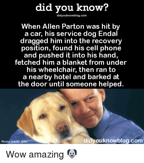 Memes, 🤖, and The Doors: did you know?  didyouknowblog.com  When Allen Parton was hit by  a car, his service dog Endal  dragged him into the recovery  position, found his cell phone  and pushed it into his hand  fetched him a blanket from under  his wheelchair, then ran to  a nearby hotel and barked at  the door until someone helped  di  ouknowblog.com  Photo Credit: BB Wow amazing 🐶