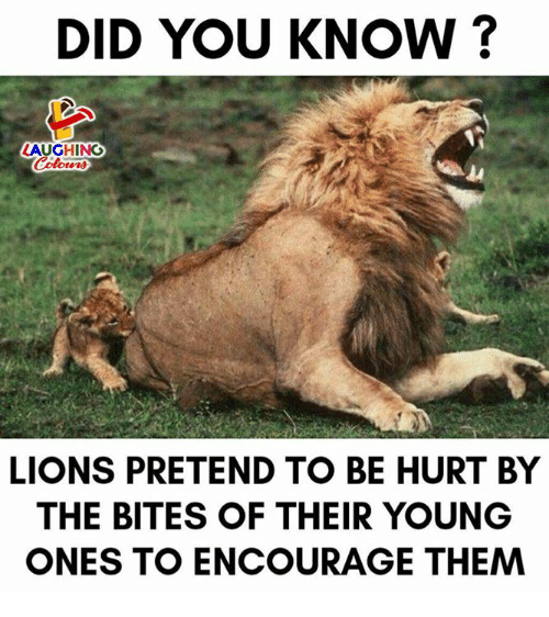 Lions, Indianpeoplefacebook, and Did: DID YOU KNOW?  LAUGHING  LIONS PRETEND TO BE HURT BY  THE BITES OF THEIR YOUNG  ONES TO ENCOURAGE THEM