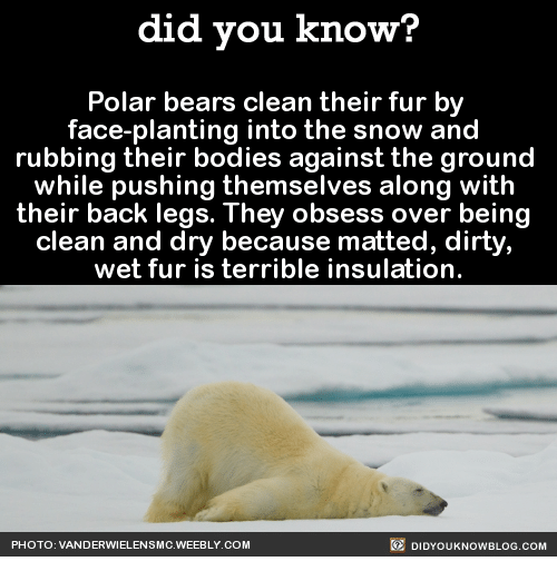 Did You Know Polar Bears Clean Their Fur By Face Planting Into