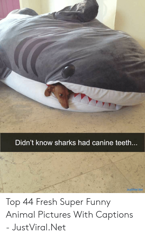 Fresh, Funny, and Animal: Didn't know sharks had canine teeth....  JustViral Net Top 44 Fresh Super Funny Animal Pictures With Captions - JustViral.Net