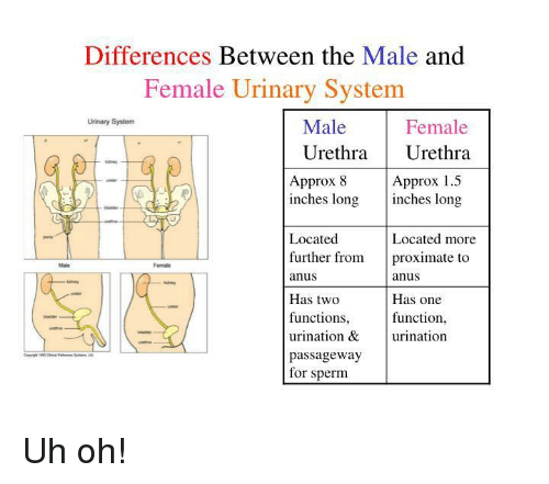 Differences Between the Male and Female Urinary System